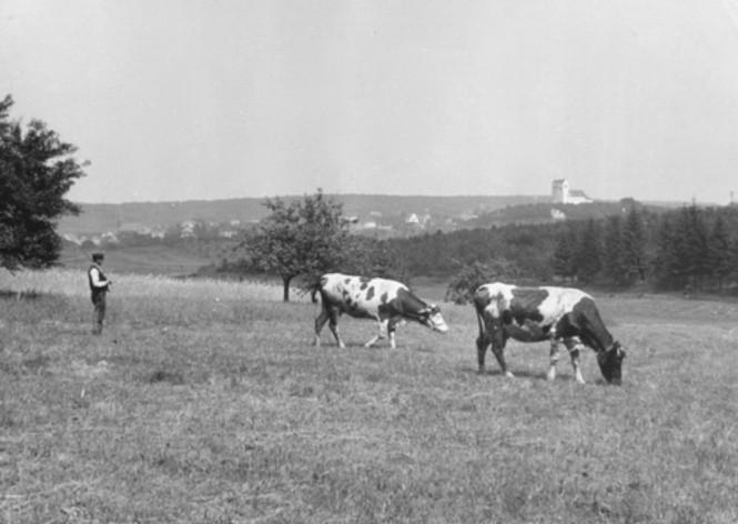 Ende der 30er Jahre - Bauer mit seinen Kühen in der Au (Foto: Willi Hardeck)