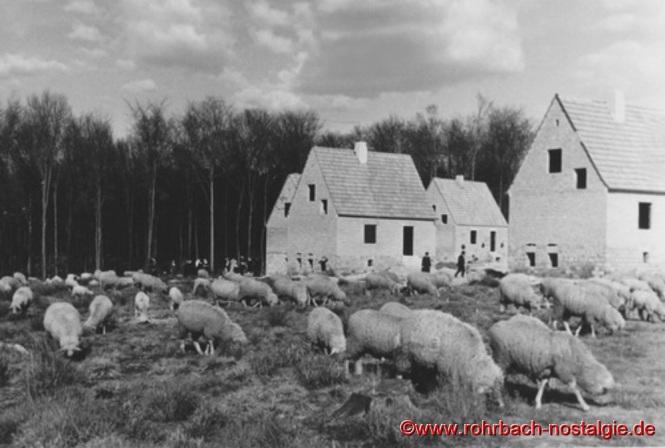 1937 - Schafe weiden auf der neugeschaffenen Siedlung (Foto: Willi Hardeck)