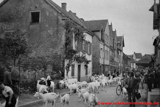 1939 Geißen aus der evakuierten roten Zone in der Spieserstraße (Schlawerie)
