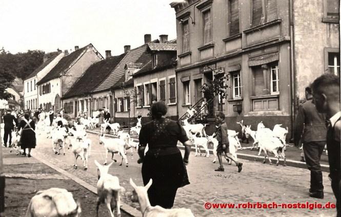 1939 Geißen aus der evakuierten roten Zone werden durch die Schlawerie getrieben in sichere Gefilde